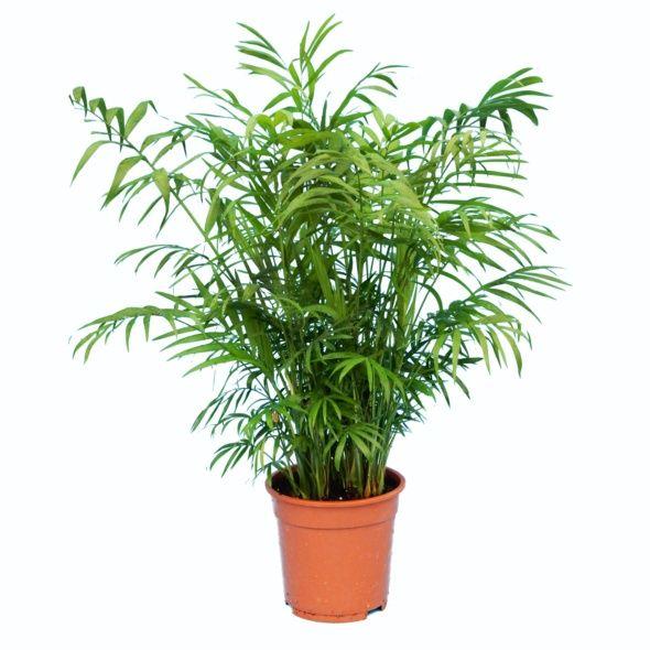 19201 palmier nain chamaedora hauteur 65cm